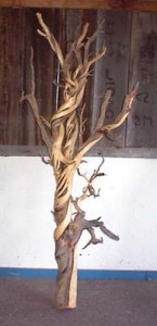 twisted juniper architectural accent